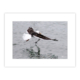 Être là au bon moment, peut-être la chance du photographe. Ce goéland au prise avec ce maquereau dans le Port de La Trinité (56), il s'est de suite posé sur l'eau pour l'emmener vers la cale où il en fit son repas…