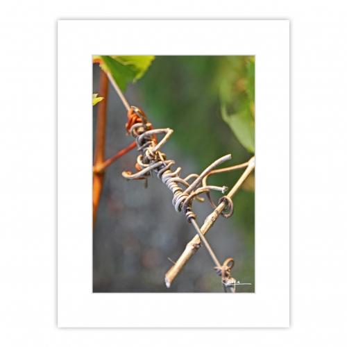 Graphisme, Vrilles séchées de vigne sur fond vert et gris, un bijou végétal
