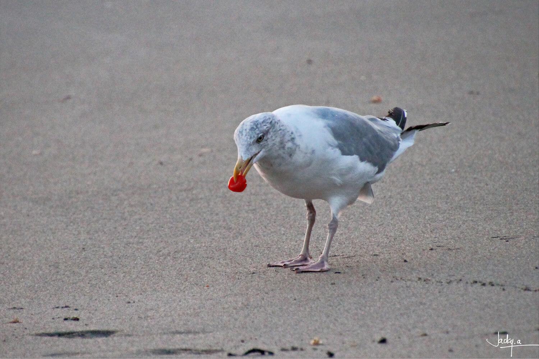 Un goéland est venu quémander à manger sur la plage au soleil couchant, il n'a une qu'une tomate cerise qu'il n'a pas trouvé à son goût