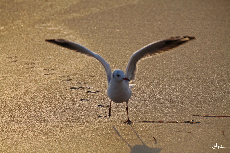 Envol d'une mouette rieuse au soleil couchant sur une sable dorée